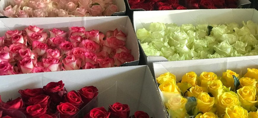 jak dbać o róże